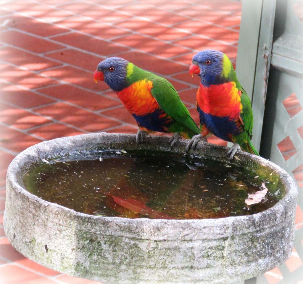 Rainbow Lorikeets by cruiser