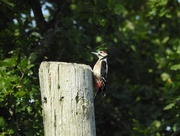 14th Sep 2016 - Great spotted woodpecker