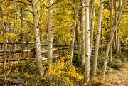 15th Sep 2016 - Colorado Aspens