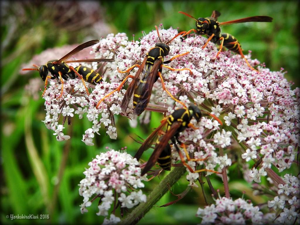 Hornet Ho down by yorkshirekiwi