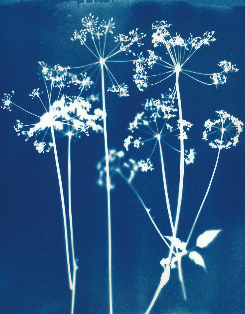 cowparsley cyanotype, fabriano paper  by ingrid2101