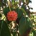 Kousa Dogwood fruit by loweygrace