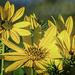 Small Headed Sunflower