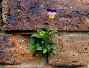 17th Sep 2016 - A Johnny Jump up which seeded itself in the brickwork of my unit