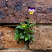 A Johnny Jump up which seeded itself in the brickwork of my unit by 777margo