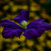 Late Clematis by tonygig