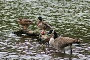 17th Sep 2016 - Getting My Ducks in a Row