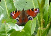 6th Sep 2015 - Peacock Butterfly
