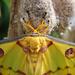 Lunar moth III by stiggle