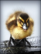 18th Sep 2016 - Duckling