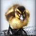 Duckling by yorkshirekiwi