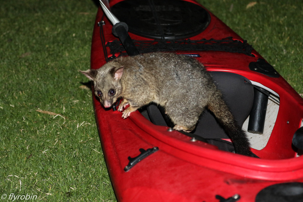 Possum kayaking by flyrobin
