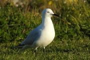 17th Sep 2016 - Seagull