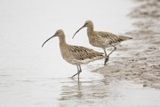 16th Sep 2016 - Mr & Mrs Curlew