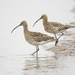 Mr & Mrs Curlew by padlock