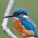 Male Kingfisher on 365 Project