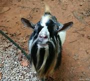17th Sep 2016 - Billy Goat
