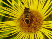11th Sep 2015 -  European Hoverfly