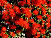 19th Sep 2016 - Red gum flowers in full bloom