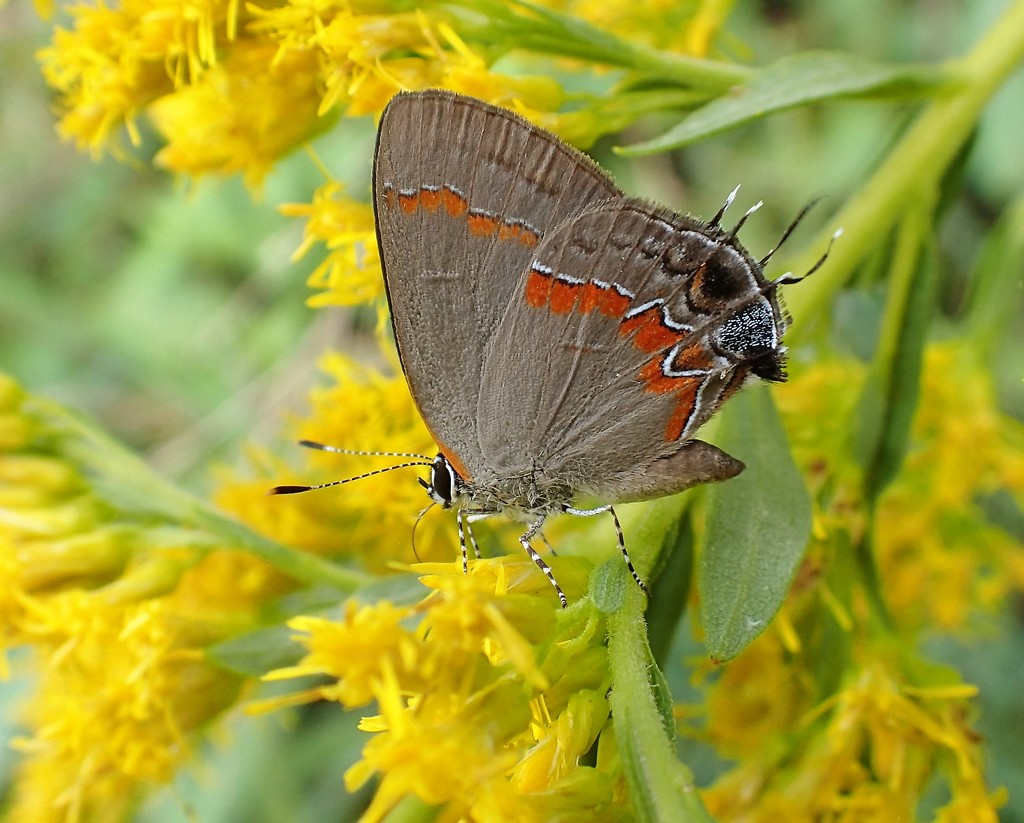 Red-banded Hairstreak by cjwhite