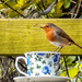 2016 09 16 - First Robin - new camera by pamknowler