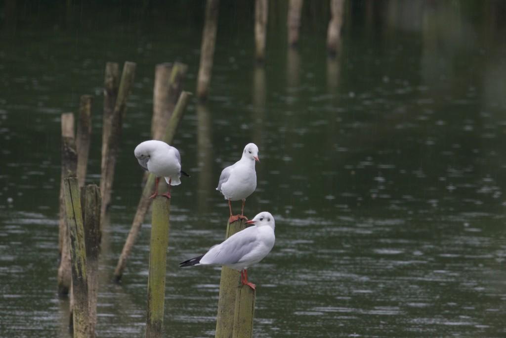 Three Gulls by padlock
