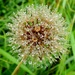 Raindrops on a seed head by julienne1