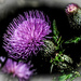 Playing with Thistle - From a Distance by milaniet