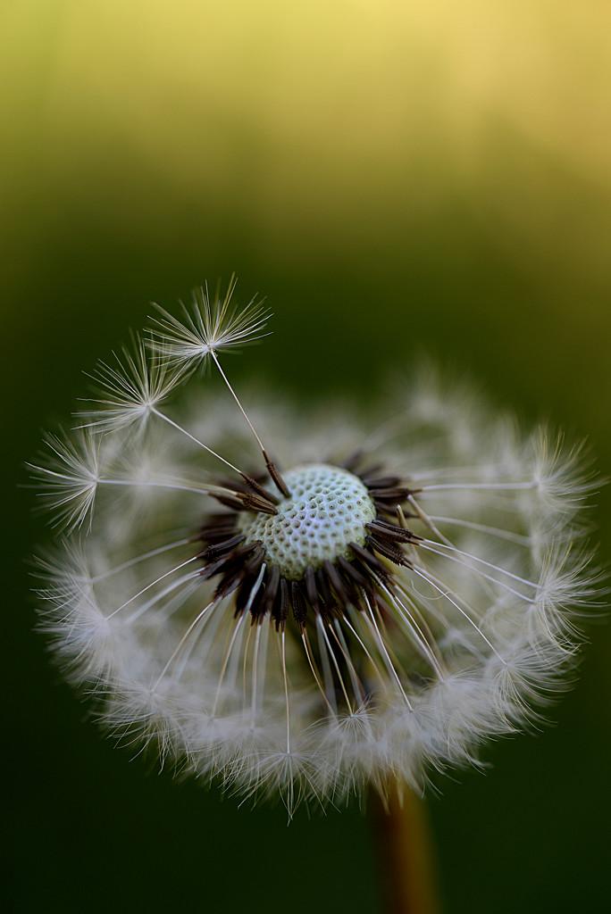 Dandy little weed! by fayefaye