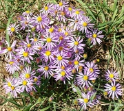 19th Sep 2016 - Asters