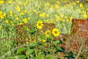 16th Sep 2016 - Texas wildflowers