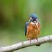 Kingfisher-disgorging food pellet by padlock