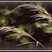 Ornamental Grass by essiesue