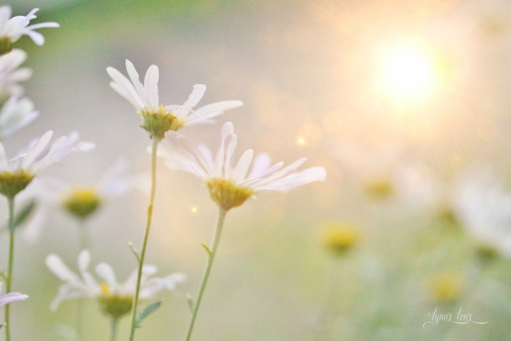late summer daisies  by lynnz