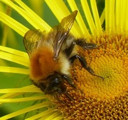 15th Sep 2015 - Bee on Yellow Daisy