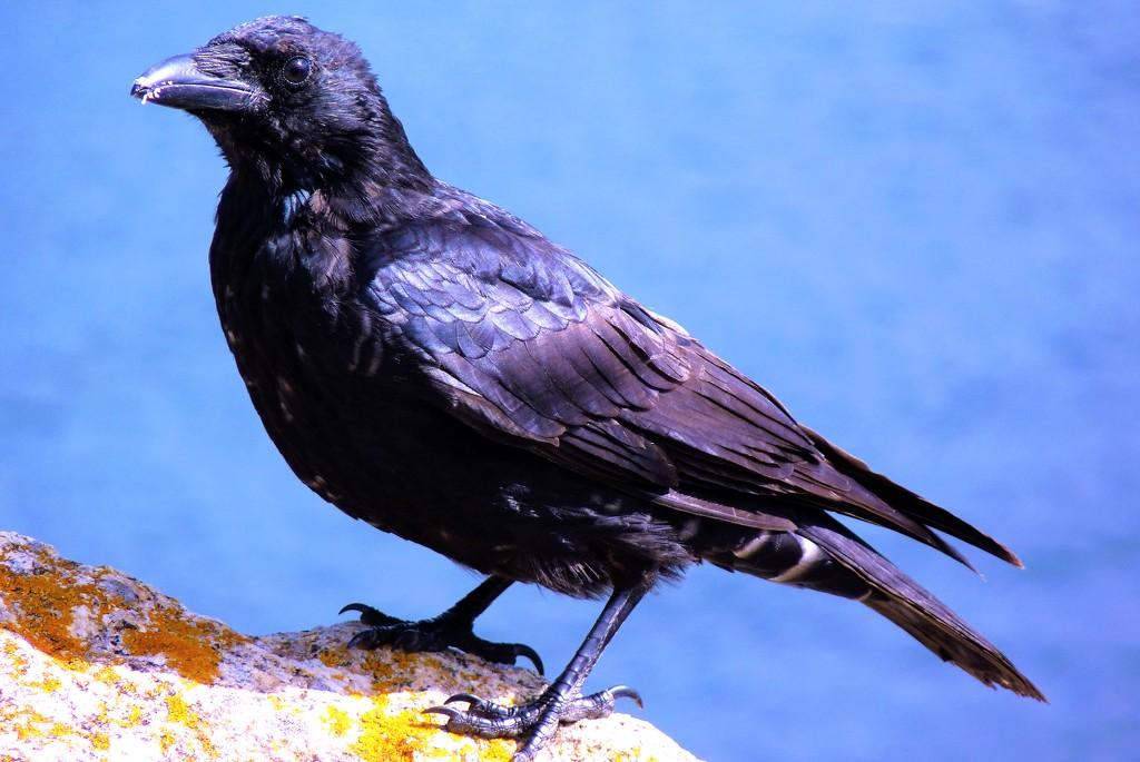 Crow by rubyshepherd