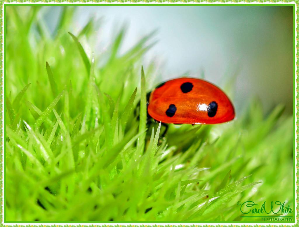 Ladybird On A Conker by carolmw