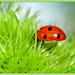 Ladybird On A Conker