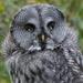 GREY GREY OWL by markp