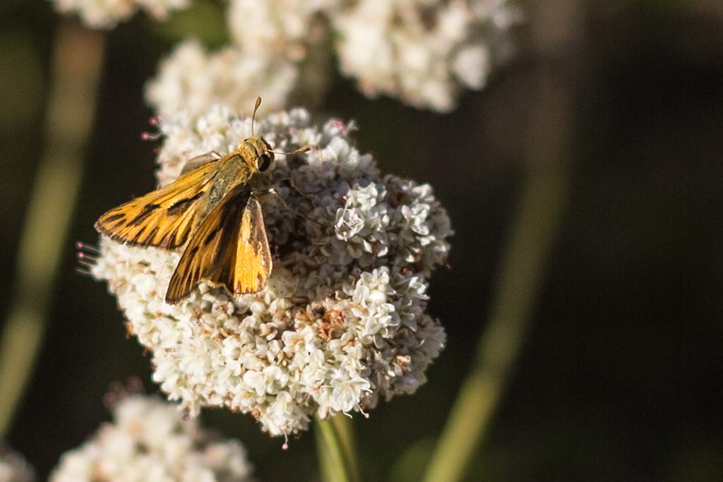 Hesperiidae by jaybutterfield