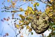 23rd Sep 2016 - Wasp's Nest
