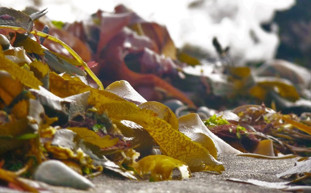 Seaweed by rubyshepherd