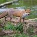 Fox by padlock