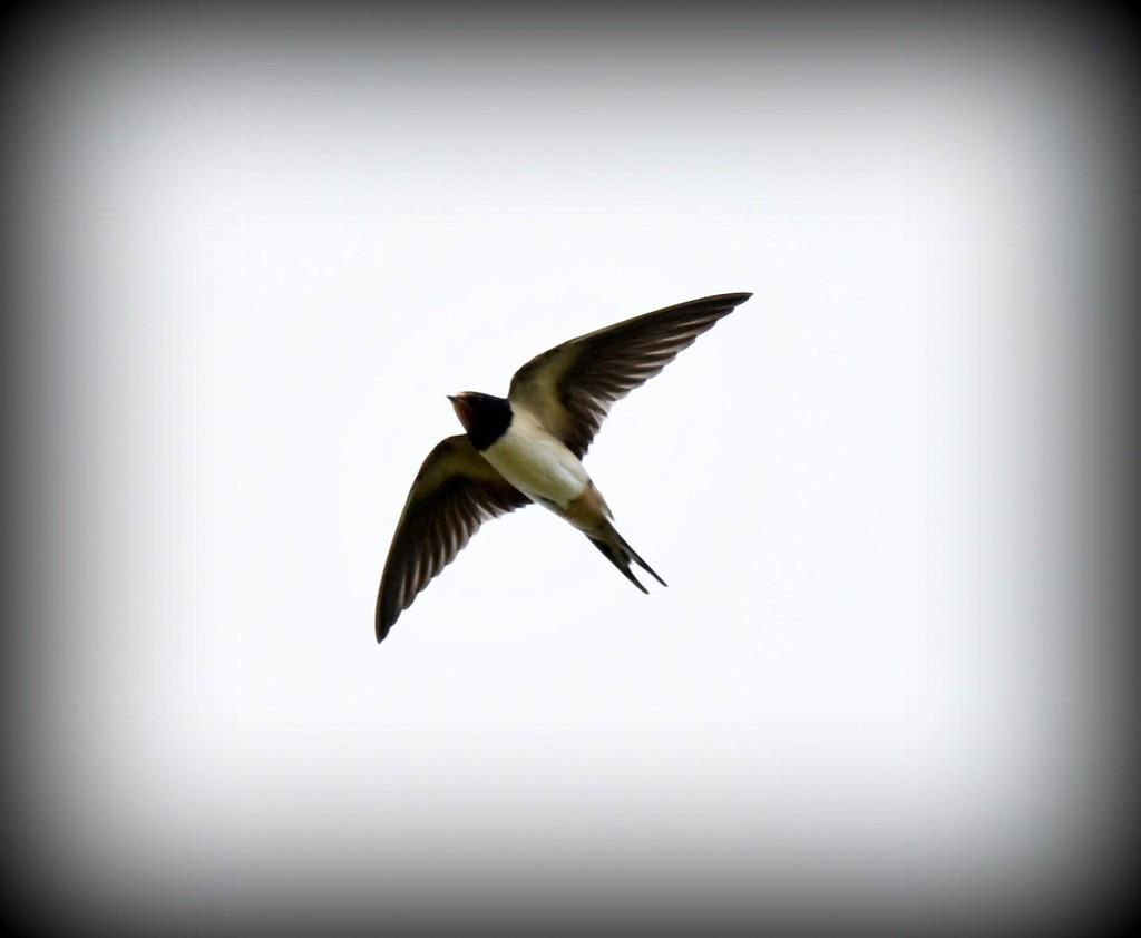 Swallow in flight by rosiekind