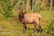 24th Sep 2016 - Young Elk