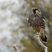 Juvenile Peregrine Falcon by gaylewood