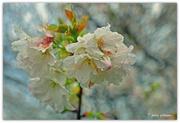 25th Sep 2016 - Cherry Blossom..
