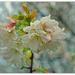 Cherry Blossom.. by julzmaioro