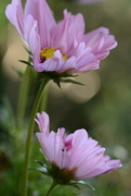 25th Sep 2016 - Pink Cosmos