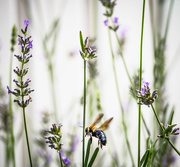 25th Sep 2016 - Among The Lavender